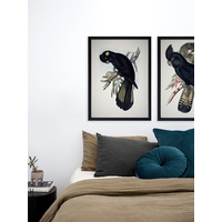 Red-Tailed Black Cockatoo Poster