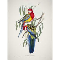 Eastern Rosella Poster